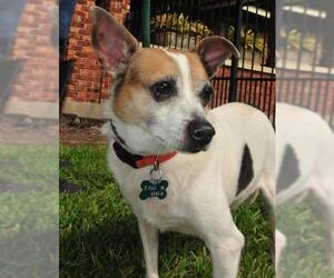 Small Jack Russell Terrier Mix