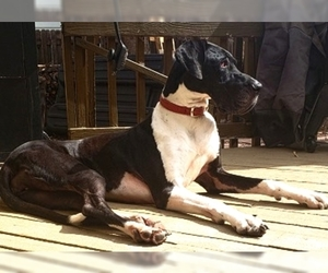 Great Dane Dogs for adoption in Lakewood, CO, USA