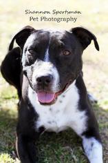 American Pit Bull Terrier Dog For Adoption in Tucson, AZ