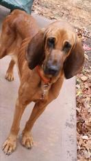 Bloodhound Dog For Adoption in Woodstock, GA