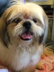 Shih Tzu Dog For Adoption in Weston, FL