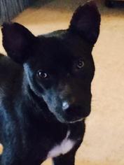 Chihuahua Mix Dog For Adoption in San Antonio, TX