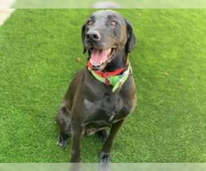 Labrador Retriever-Unknown Mix Dogs for adoption in Clovis, CA, USA