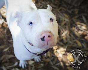 American Pit Bull Terrier Dog For Adoption in Eugene, OR, USA