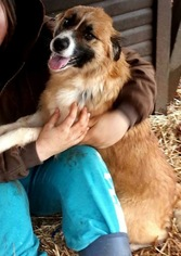 Collie Mix Dog For Adoption in Mount Airy, NC, USA