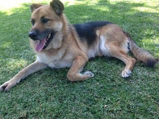 German Shepherd Dog Mix Dog For Adoption in Santa Monica, CA, USA