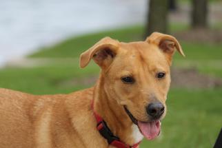 Golden Retriever-Vizsla Mix Dog For Adoption in Houston, TX, USA