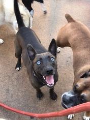 German Shepherd Dog-Siberian Husky Mix Dog For Adoption in Cumming, GA