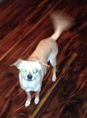 Chihuahua Mix Dog For Adoption in Battle Ground, WA