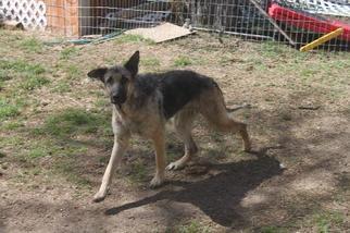 German Shepherd Dog Dog For Adoption in Sebec, TX, USA
