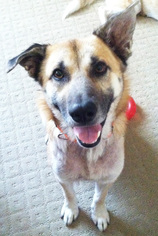 German Shepherd Dog Dog For Adoption in Dallas, TX