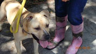 Labrador Retriever Dog For Adoption in Chuluota, FL