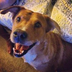 Labrador Retriever Mix Dog For Adoption in Austin, TX