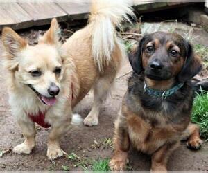 Dameranian Dogs for adoption in Rowayton, CT, USA