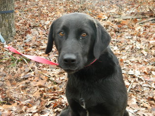 Labrador Retriever Dog For Adoption in Randleman, NC