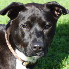 Border Collie Mix Dog For Adoption in Huntley, IL
