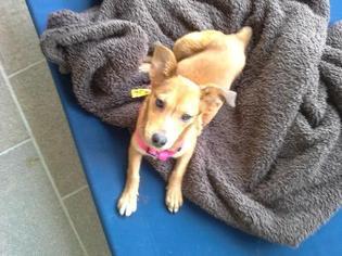 Collie Mix Dog For Adoption in San Antonio, TX, USA