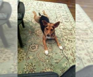 Small Beagle-German Shepherd Dog Mix