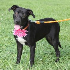 Border Collie Mix Dog For Adoption in Lake Jackson, TX, USA