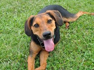 Beagle Coonhound Mix | www.pixshark.com - Images Galleries ...