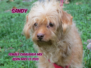 Chiweenie Dog For Adoption in Huddleston, VA, USA