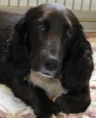 Basset Hound Mix Dog For Adoption in Savannah, MO