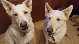 German Shepherd Dog Dog For Adoption in Hugo, MN, USA