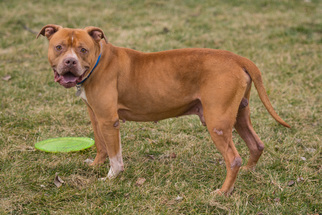 American Pit Bull Terrier Dog For Adoption in Howell, MI, USA