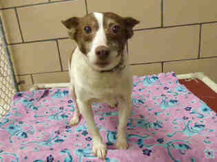 Rat Terrier Dog For Adoption in Fort Wayne, IN