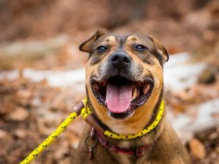 Rottweiler Mix Dog For Adoption in Rockaway, NJ