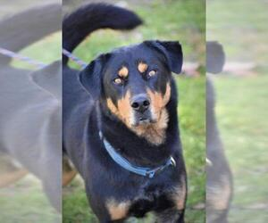 Rottweiler-Unknown Mix Dogs for adoption in Washington, DC, USA