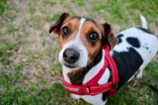 View Ad: Dachshund-Jack Russell Terrier Mix Dog for ...