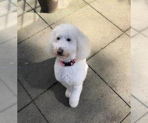 Goldendoodle (Miniature) Dogs for adoption in Pacolet, SC, USA