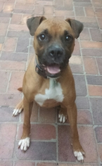 Boxer Dog For Adoption in Porter Ranch, CA, USA