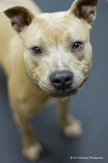 American Pit Bull Terrier Mix Dog For Adoption in Boston, MA