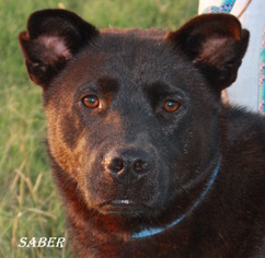 Australian Kelpie Mix Dog For Adoption in Lone Oak, TX, USA