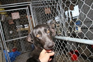 Labrador Retriever-Mountain Cur Mix Dog For Adoption in Crossville, TN, USA