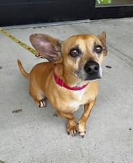 Chiweenie Dog For Adoption in Southampton, NY, USA