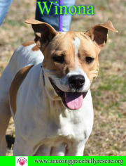 American Staffordshire Terrier Mix dog
