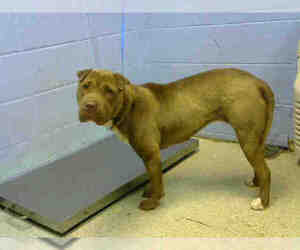 Small American Pit Bull Terrier-Chinese Shar-Pei Mix
