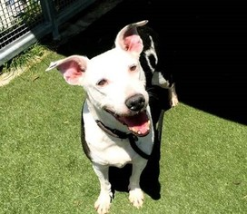 Pointer Mix Dog For Adoption in Beverly Hills, CA, USA