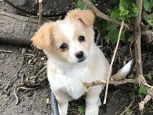 View Ad Chiranian Dog For Adoption California San Jose Usa