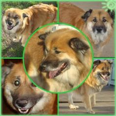Chow Chow Mix Dog For Adoption in Frisco, TX
