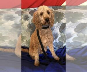 Goldendoodle Dogs for adoption in Longview, TX, USA