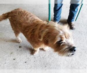 Border Terrier Dogs for adoption in Houston, TX, USA