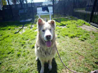 View Ad Alaskan Malamute Golden Retriever Mix Dog For Adoption