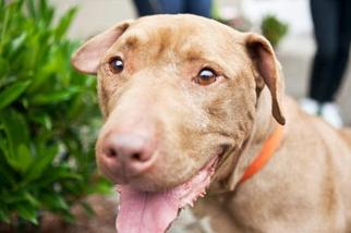 American Pit Bull Terrier Mix Dog For Adoption in Seahurst, WA, USA