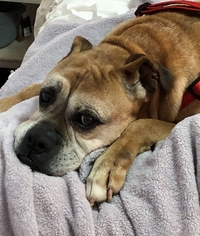 Boxer Dogs For Adoption Near Me