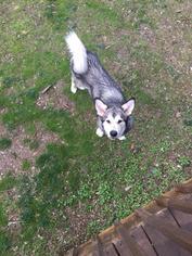 Alaskan Malamute Dog For Adoption near 32818, Orlando, FL, USA