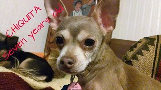 Chihuahua Dog For Adoption in Ft. Worth, TX, USA